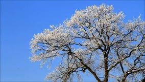 Winter landscape, trees in hoarfrost stock footage