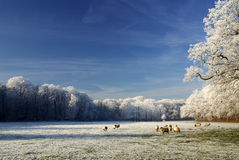 Winter landscape with trees and sheep. A photo of a winter landscape with trees and sheep Royalty Free Stock Photography