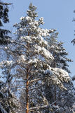 The winter landscape. The trees in the snow. The tall trees in the Park covered with snow and illuminated by the sun Stock Photos