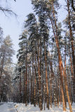 The winter landscape. The trees in the snow. The tall trees in the Park covered with snow and illuminated by the sun Royalty Free Stock Image