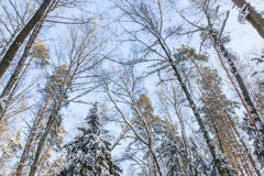 The winter landscape. The trees in the snow. The tall trees in the Park covered with snow and illuminated by the sun Royalty Free Stock Images
