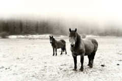 Winter landscape with two horses looking. Black and white Stock Images