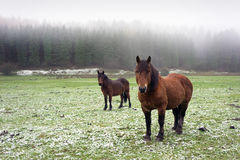 Winter landscape with two horses looking Royalty Free Stock Photo