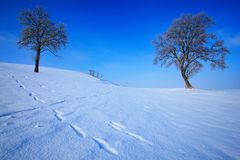 Winter landscape. Two lone trees in winter snowy landscape with blue sky. Solitary trees on the snow meadow. Winter scene with foo Royalty Free Stock Photo