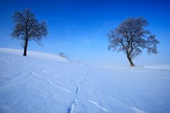 Winter landscape. Two lone trees in winter snowy landscape with blue sky. Solitary trees on the snow meadow. Winter scene with foo Stock Image