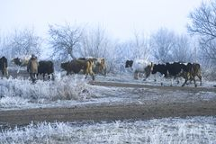Winter landscape in the village. Cows go on a frosty morning road. Winter landscape in the village. Cows go on a frosty morning road Stock Images