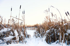Winter landscape in the village. Reeds in the snow in a forest. Sunlight royalty free stock photo