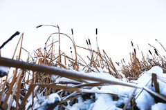 Winter landscape in the village. Reeds in the snow in a forest. Sunlight stock photos