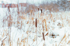 Winter landscape in the village. Reeds in the snow in a forest. Sunlight stock photo