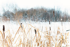 Winter landscape in the village. Reeds in the snow in a forest. Sunlight stock photography
