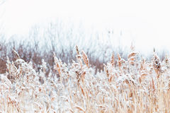 Winter landscape in the village. Reeds in the snow in a forest. Sunlight royalty free stock images