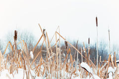 Winter landscape in the village. Reeds in the snow in a forest. Sunlight stock image
