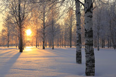 Winter landscape with white birch trees. And the sun through the trees Royalty Free Stock Image