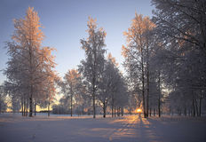 Winter landscape with white birch trees Royalty Free Stock Images