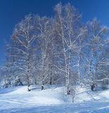 Winter landscape with white birch in wood stock image