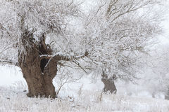 Winter landscape with white willows covered with frost Royalty Free Stock Photo