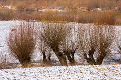 Winter landscape with willows. Stock Images