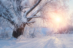 Winter landscape-winter tree in the sunrise forest. Winter landscape wonderland scene. Winter morning. Sunrise breaking through winter forest trees in the Royalty Free Stock Images