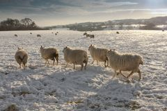 Winter landscapeand Schafe im Schnee Lizenzfreie Stockfotos