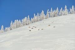 Yakut horse. Oymyakon. Winter landscapes of Oymyakon - the pole of cold of the Northern Hemisphere. Yakutia, Russia royalty free stock photography