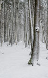 Winter landscapes, Snow covered tree trunks Stock Photo