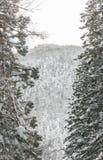 Winter-Landschaft des Kiefern-Waldes lizenzfreie stockfotos