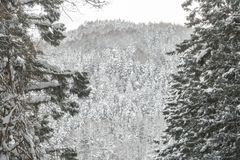 Winter-Landschaft des Kiefern-Waldes stockbild