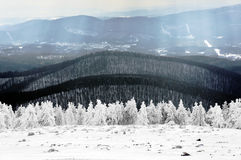 Winter lanscape with frozen pines Stock Image