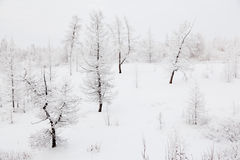 Larches covered with snow Royalty Free Stock Images