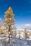 Winter larches Royalty Free Stock Photo