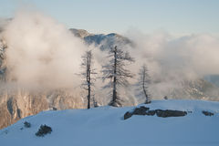 Winter larches Royalty Free Stock Images
