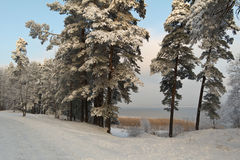 Winter in Latvia. Latvian winter-scape with lake and pine forest. December, 2012 Stock Images