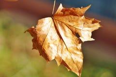 Winter Leaf. Common winter leaf in UK Stock Image