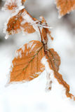 Winter leaf with frost Royalty Free Stock Photography