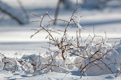 Winter leafless blueberry bush covered in snow Stock Image