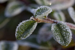 Winter leafs. These frozen baby leafs announce the start of the winter season Royalty Free Stock Image