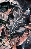 Winter leafs Royalty Free Stock Photography