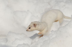 Winter Least Weasel running in snowdrift Royalty Free Stock Photography
