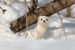 Winter Least Weasel in the snow burrow Stock Images