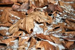 Winter leaves. In the snowy ground Stock Images