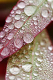 Water droplets on leaves Royalty Free Stock Photo