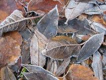 Winter leaves. Hoar-frost on leaves Stock Image