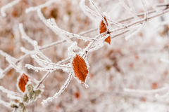Winter leaves covered with snow and hoarfrost Royalty Free Stock Image