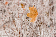 Winter leaves covered with snow and hoarfrost Royalty Free Stock Photos