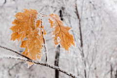 Winter leaves covered with snow and hoarfrost Stock Photos