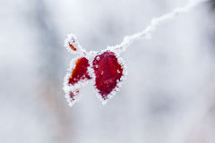 Winter leaves covered with snow and hoarfrost Stock Photo