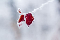 Winter leaves covered with snow and hoarfrost Stock Photography