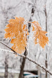 Winter leaves covered with snow and hoarfrost Stock Images