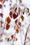 Winter leaves covered with snow and hoarfrost Stock Image