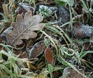 Winter leaves. Frosts on fallen leaves in winter Royalty Free Stock Photo